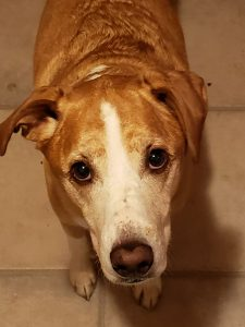 Image of a brown and white dog looking up from a beige linoleum floor