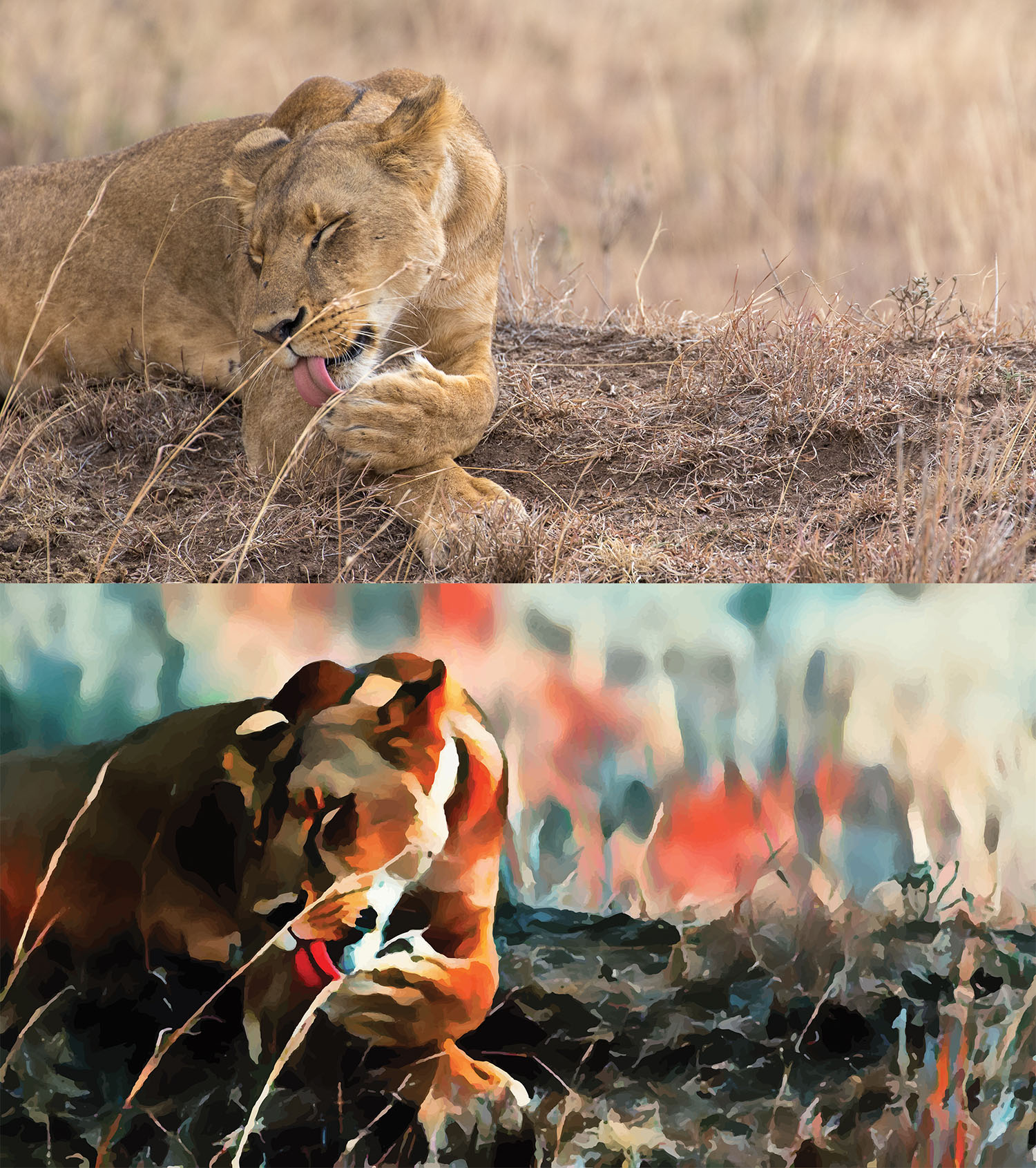 Before and after stylized image of a lioness lying in the grass licking her paw