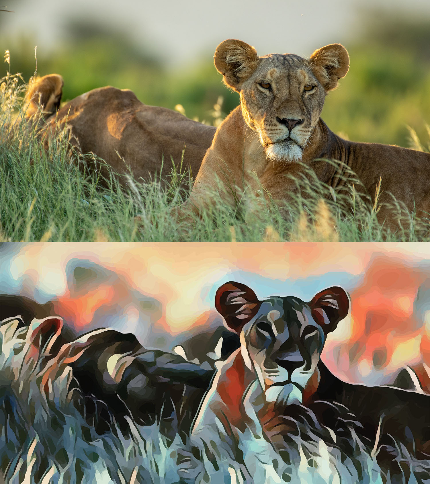 Before and after stylized image of a lioness lying in the grass